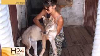 В Энгельсе кинологи скрестили самца немецкой овчарки и волчицу(Это не первый подобный эксперимент. Потомство собаки и волка в России уже получали. И, как признаются киноло..., 2014-08-15T10:44:05.000Z)
