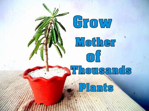 How To Grow And Care For Mother Of Thousands Plant Kalanchoe