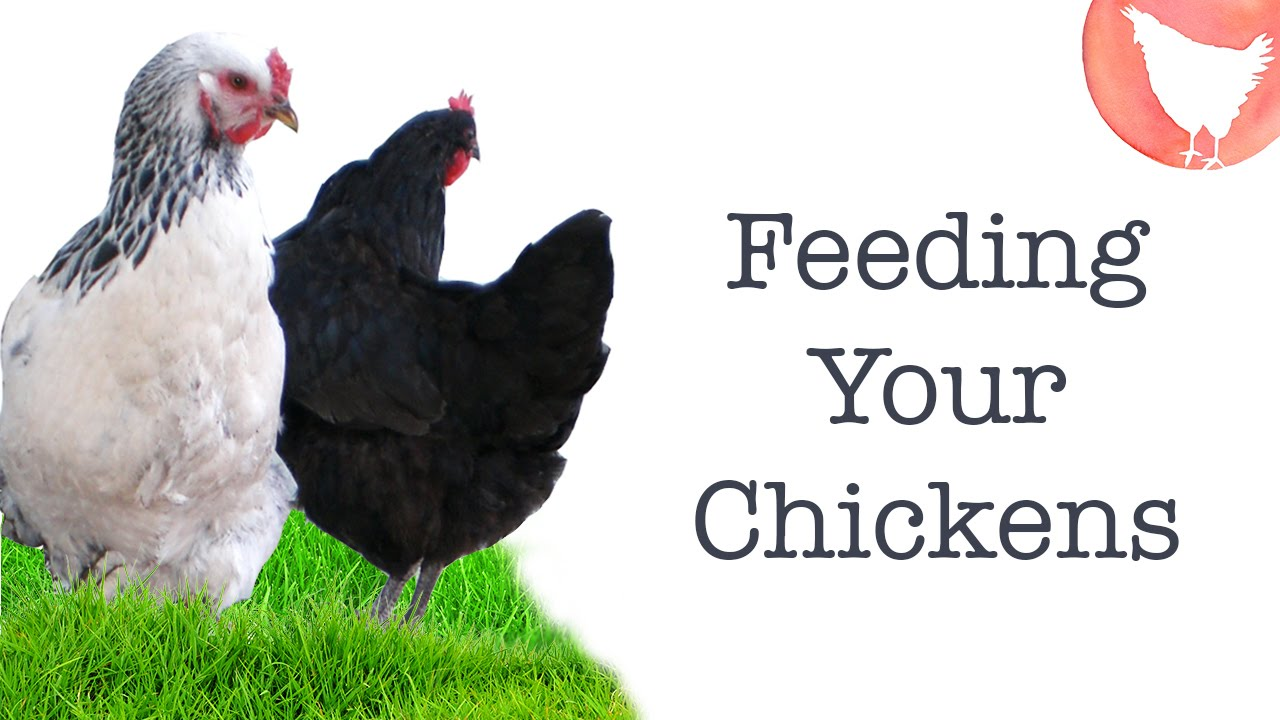backyard chicken keeping ep 6 what to feed your chickens youtube