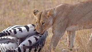 Amazing:Lion ambushes zebra