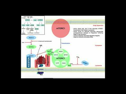 Exercise Physiology | mTORC1 and Muscle Protein Synthesis