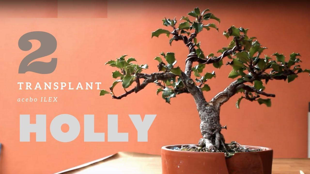 Holly Bonsai 2 Youtube