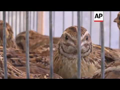Gazans trap quail in nets to sell at market
