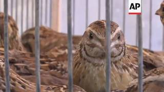 Gazans trap quail in nets to sell at market thumbnail