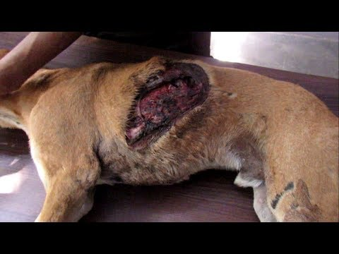 Dog suffocating from collapsed lungs and gaping wound healed