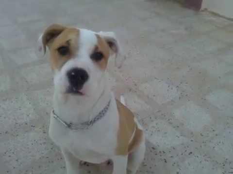 croisé dog argentin staff 3mois (sézar) oran - YouTube