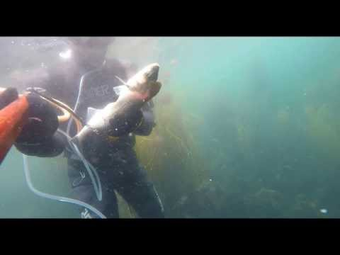 Guernsey UK Spearfishing Bass and Mullet