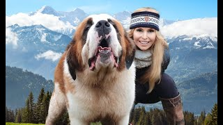 THE SAINT BERNARD DOG  GIANT ALPINE RESCUER