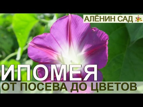 ИПОМЕЯ от посева до цветения. Как лучше выращивать ипомею