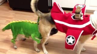 Dog Halloween ☆ Pug & Husky Mix ♡