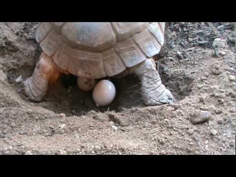 Tortoise Laying Eggs