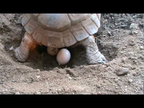 Thumbnail: Tortoise Laying Eggs