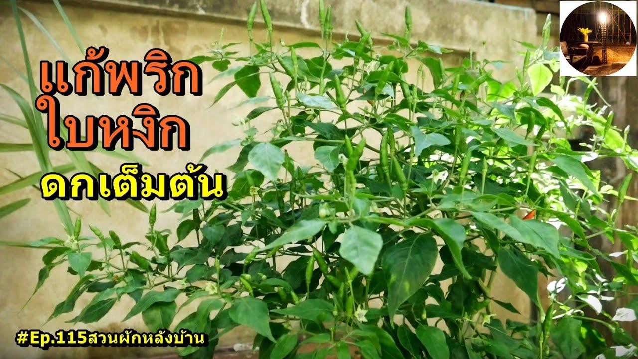 แก้ปัญหาพริกใบหงิกอย่างไร #Ep.115สวนผักหลังบ้าน