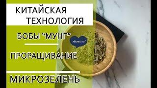 Проращиваем семена маша. Китайская технология. Микрозелень.