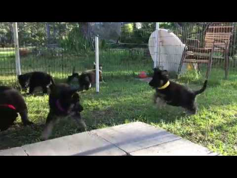 Solid Black German Shepherd Puppies for sale in FL May 2019