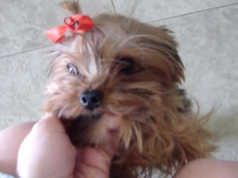 Micro Teacup Yorkie For Sale Under 25 Lbs Fully Grown Jessica