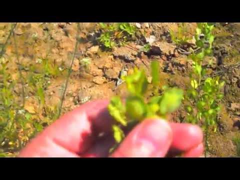 Пастушья сумка (трава) — описание, полезные свойства