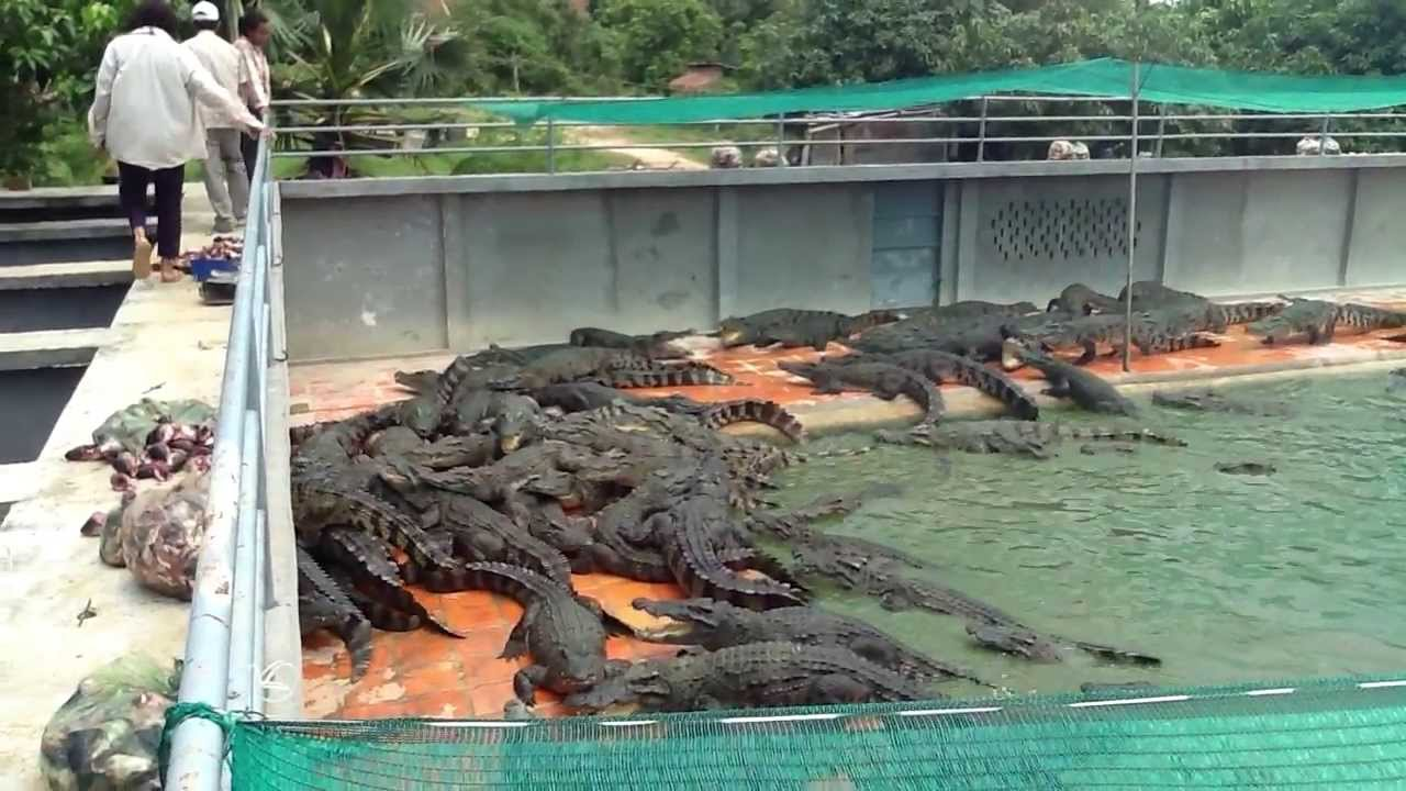 Gentleman crocodile farm - YouTube