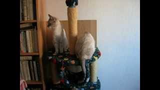 Развод по-кошачьи! Улётное видео! Тайские кошки - это чудо! Funny Cats