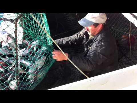 Black cod fishing with traps on F/V Calyspo