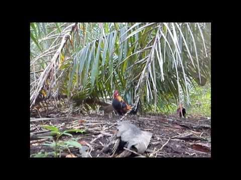 Ayam Hutan Pikat Betina 45