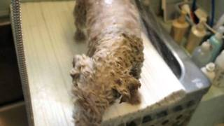 2010.8.15 実家の犬のシャンプー中。高いところ(風呂フタの上)にいる...