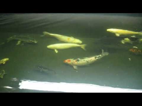 540 gallon diy koi pond update youtube for Koi pond gallons