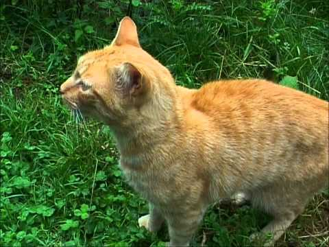 CHAT MIAULE : MANGER, CAT MEOWS TO EAT,  CAT MIAOWS