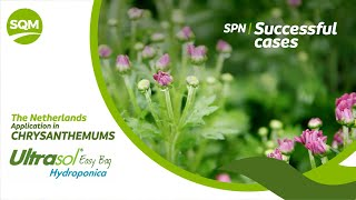 SPN Successful cases – Chrysantemums, Ultrasol Easy Bag Hydroponica – The Netherlands