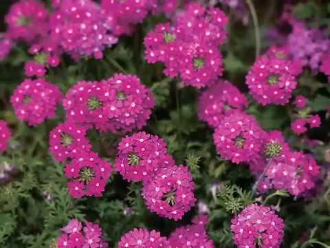 Get to Know Verbena - Sun-Loving Plants