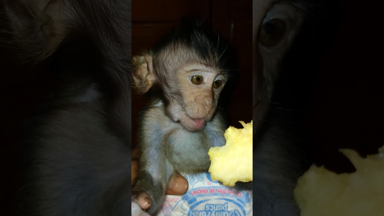 Bayi monyet lucu saat makan apel sambil mata ngantuk - YouTube