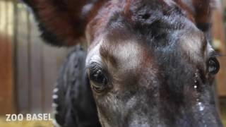 Nachwuchs bei den Waldgiraffen Erste Okapi-Geburt seit elf Jahren