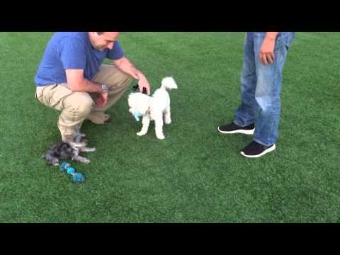 [mv-#18]-yorkie,-prince-charming-dodo-playing-w/-a-friendly-bulldog---2015.-7.-13-(mon)