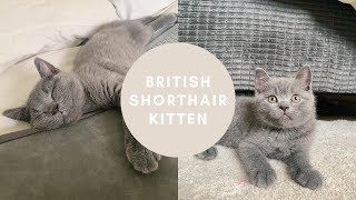 bringing home our first kitten  BRITISH SHORTHAIR
