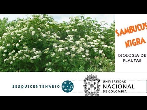 Sauco Negro (Sambucus nigra) Universidad Nacional de Colombia.