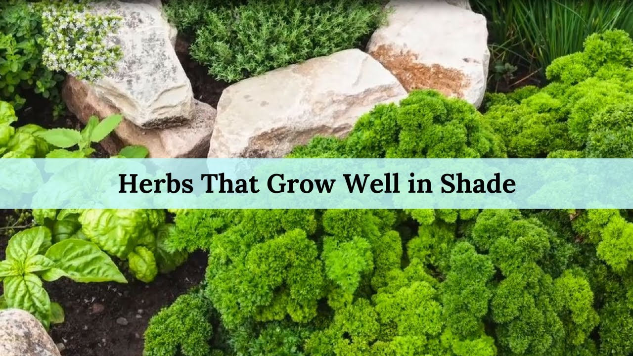 herbs for part shade
