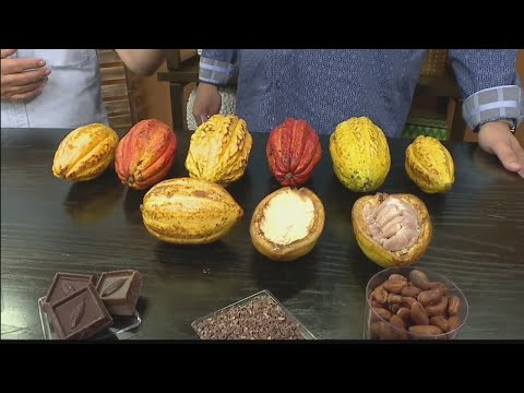Big Island Chocolate Festival helps the local cacao industry through activities