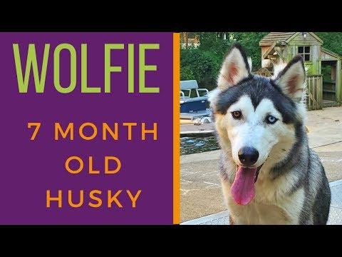WOLFIE   7  MONTH OLD SIBERIAN HUSKY   OBEDIENCE TRAINING   OFF LEASH K9