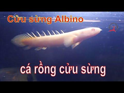 Cá Cửu Sừng Albino - Khủng Long Trắng Mắt đỏ  ! Quái vật biết đi