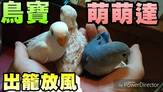 【小鸚 愛情鳥 #23】幼鳥 35天 鳥寶放風 愛情鳥 小鸚鵡
