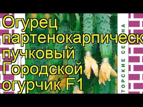 Огурец Городской огурчик. Краткий обзор, описание характеристик, где купить семена cucumis sativus | городской | описание | огурчик | краткий | огурчи | огурец | обзор | sativus | cucumis