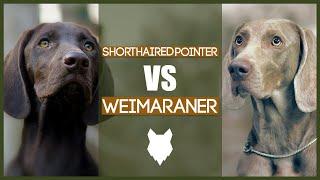GERMAN SHORTHAIRED POINTER VS WEIMARANER