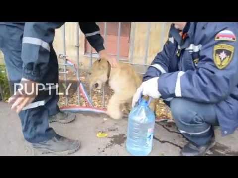 Russia: Lion cub found walking alone in Ufa city centre