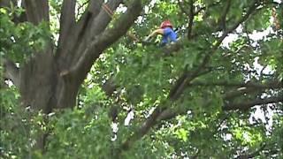 Brandon Hendrickson KC Arborist Tree Care Work Climb 2011.wmv