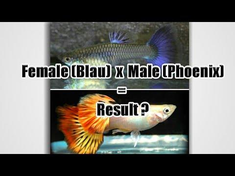Guppy Crossbreeding Project - Male (Phoenix) X Famale (Blau from Dragon) F1 Result
