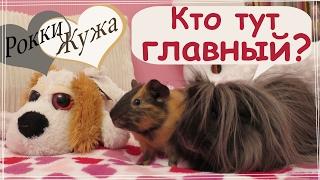 Свинки гуляют. Звуки свинок на прогулке. Кто главный? Guinea pigs are walking.