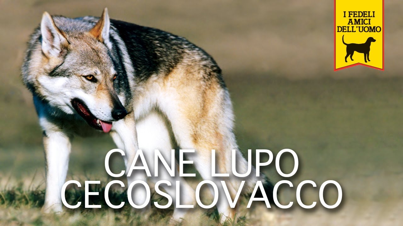 Cane Lupo Cecoslovacco Trailer Documentario Youtube