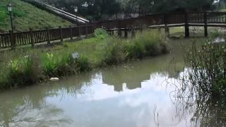 陽明運動公園生態池、木橋、廟會背景音樂、涼亭 TangMin Park, Taoyuan