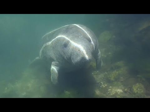 Massive rescue effort to save a pregnant manatee