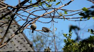 huismus / Young house sparrow gets fed by mother house sparrow. 10 mei 2010 Jonge huismus krijgt te eten van moeder huismus op 10 mei 2010. Aan het gedrag en uiterlijk te zien is het jong vandaag uitgevlogen.  Judging by it's behavior and appearence it left the nest  today.  mus10mei2010jongVoer_3049.MOV